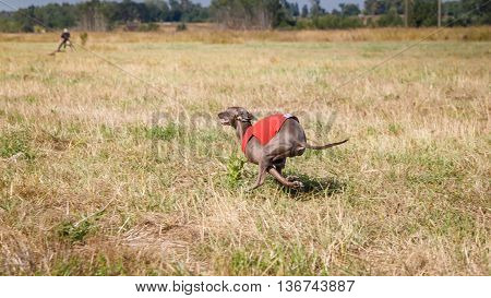 Coursing. Italian Greyhound Dog Running Across The Field. Red Sh