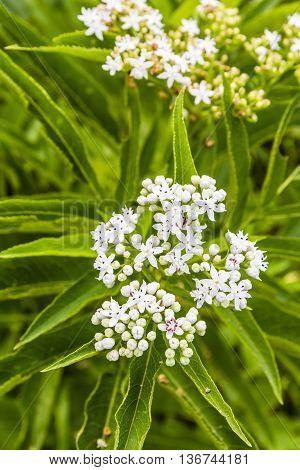 Flower Inflorescence Of Sambucus Ebulus.
