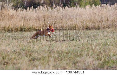 Coursing. Basenji Dogs Run After A Lure. Grassy Field. Autumn
