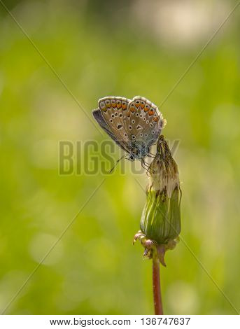 Variegated butterfly on flower with green background