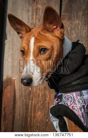 Basenji Dog Portrait In Winter Clothes