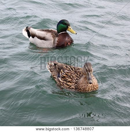 Male and Female Mallard Duck couple just being content with each other