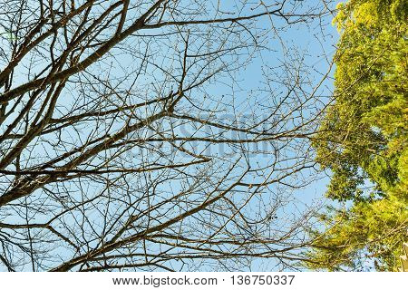 Naked branches of a tree against blue sky with green leaves