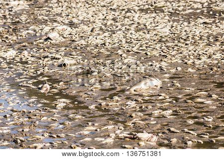 Dead fish after lake drainage and dredging at Royal Lake Park in Fairfax, Virginia