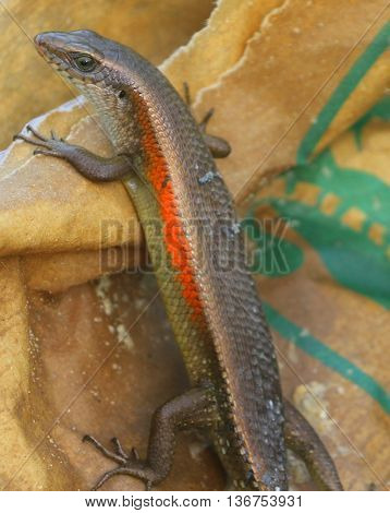 Common Sun Skink with shedding skin, swamp near Songkhla, Thailand