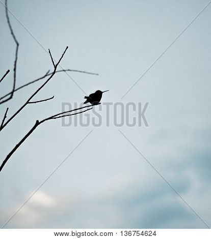 Silhouette of hummingbird perched on bare tree branches