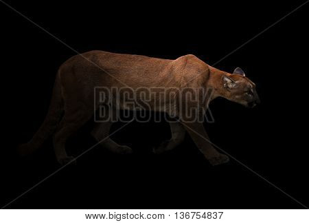 Puma (panthera Onca) In The Dark