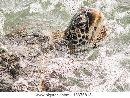 Beautiful Maui Sea Turtle coming up for air