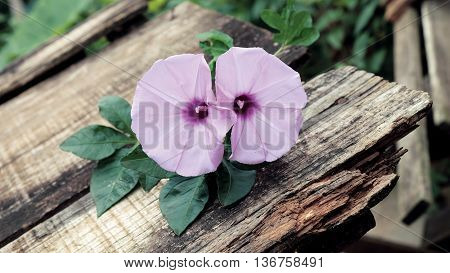 Morning Glory Flower, Old Wooden Background