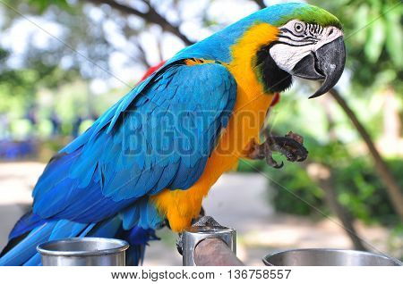 Single Blue and Yellow Macaw standing on the wood stick