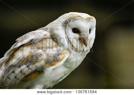 Stunning Portrait Of Barn Owl Tuto Aluco