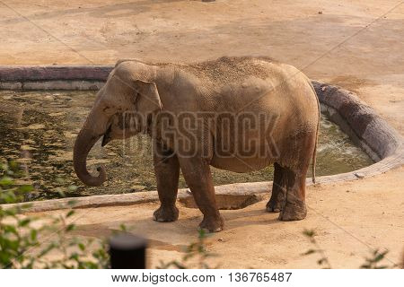 Elephant walking near the pool in zoo