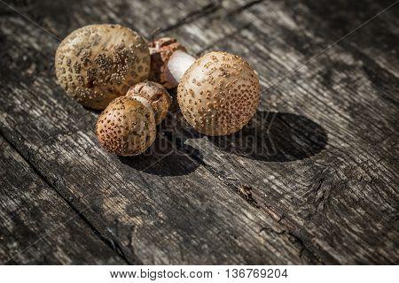 The Amanita Rubescens Fungi