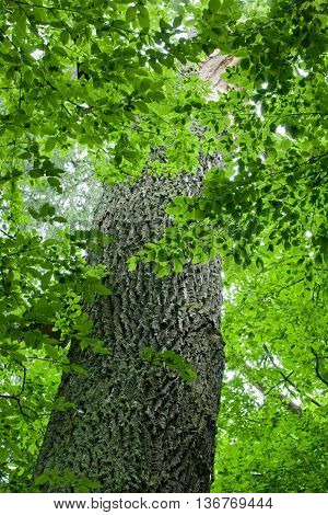 Old oak trunk among hornbeam branches, Bialowieza Forest, Poland, Europe