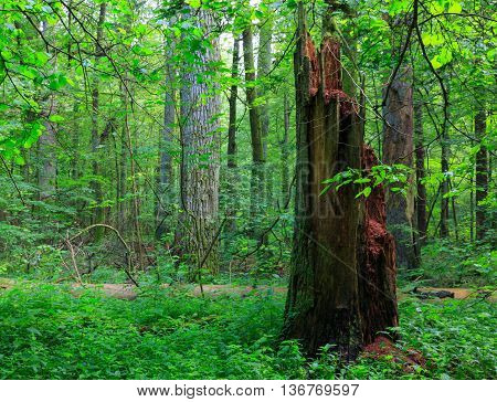 Barkless dead spruces in old summertime deciduous stand, Bialowieza Forest, Poland, Europe