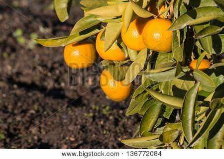 closeup of ripe satsumas on tree in garden