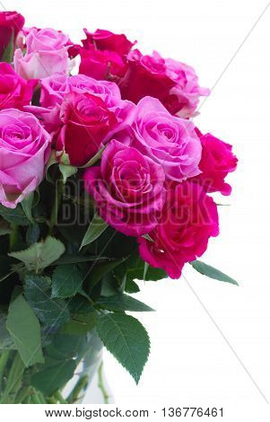 pink and magenta roses closeup isolated on white background