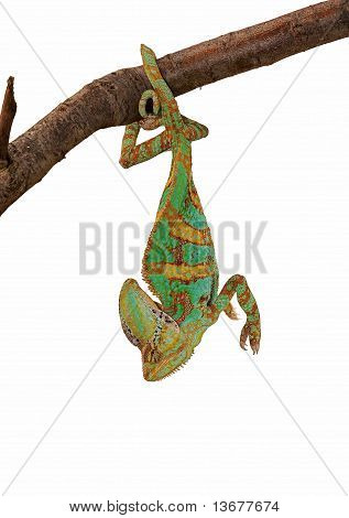 Green chameleon upside down