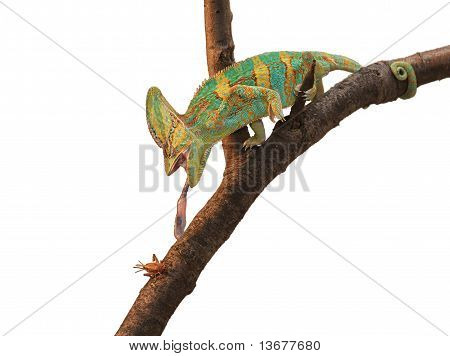 Green Chameleon hunting a cricket