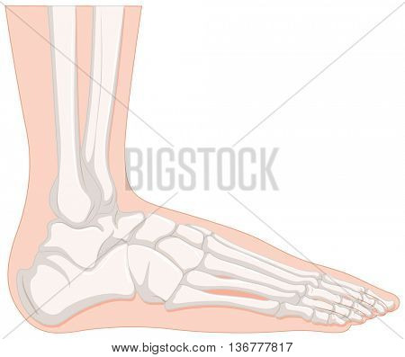 X-ray human foot bone illustration