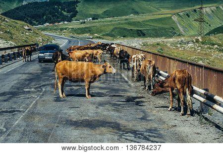 Caucasus Mountains Georgia - July 21 2015. Cows stands on a bridge on so called Georgian Military Higway through Caucasus Mountains
