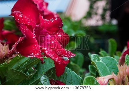 Adenium Red Flowers After The Rain Drops.