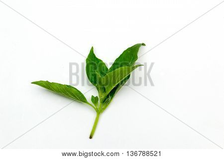 Hairy Basil Isolated On White Background. (leaf Hairy Basil Isolated)