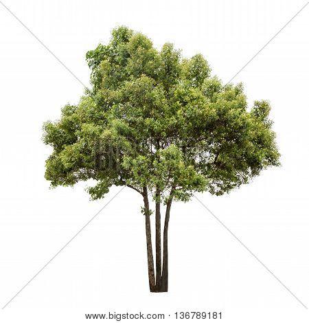 Isolated big leafy tree on white background
