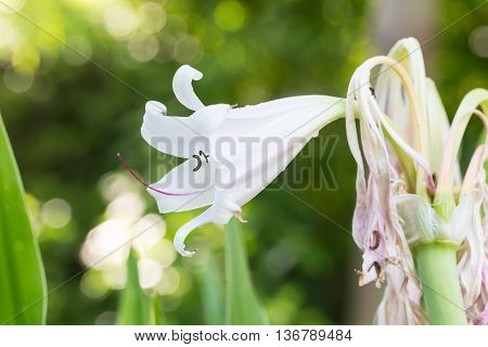 River, Spider, Swamp Lily or Poison Bulb flower on green bokeh background