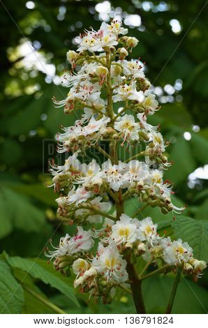 Chestnut inflorescence with white small flowers on a branch on a background of green leaves