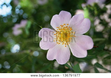 wild rose flower with pink petals and yellow stamens on the background of green leaves