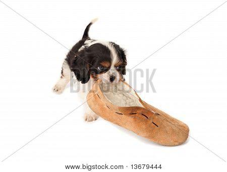 Puppy With Slipper