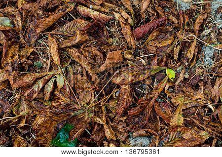 Autumn background of fallen rotten chestnut leaves