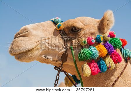 Close portrait of an Egyptian camel head, decorated in traditional style