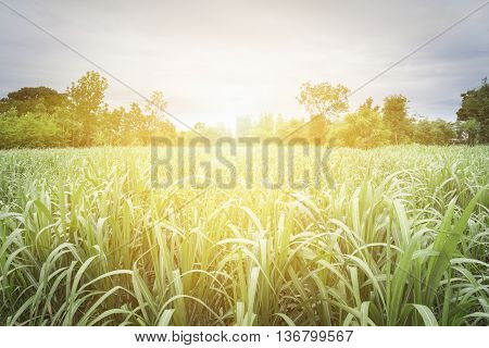 Large fields of sugar cane Sugarcane production in the sugar industry.