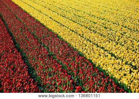 Tulip. beautifull Dutch tulips. colorful tulips. tulips in spring,