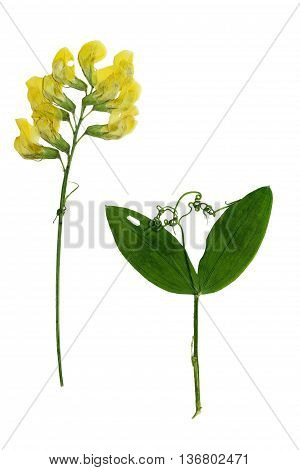 Pressed and dried stalk Lathyrus pratensis with delicate yellow flowers twig with two leaves. Isolated on white background. For use in scrapbooking floristry (oshibana) or herbarium.