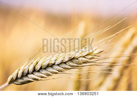 Close up of wheat ear in field