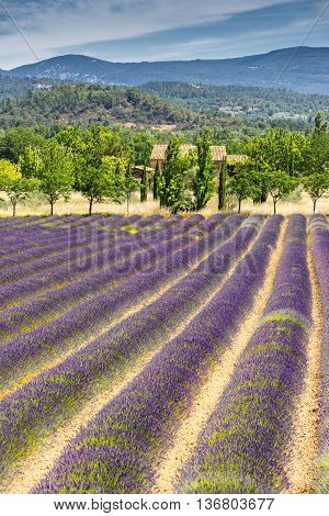 Lavender field in the Vaucluse in the Luberon region of Provence