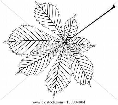 chestnut buckeye , vector isolated buckeye leaf