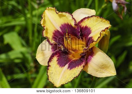 Yellow and purple Daylily flower in a garden.