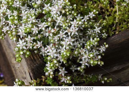 The beautiful English Stonecrop (Sedum anglicum) growing wild in white star shaped flower.
