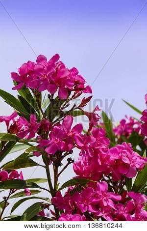Oleander flowering shrub pink clusters of flowers closeup.