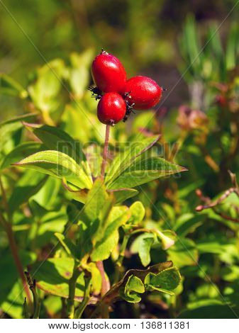 Berries Swedish turf cornus suecica (The Latin name: Chamaepericlymenum suecicum)