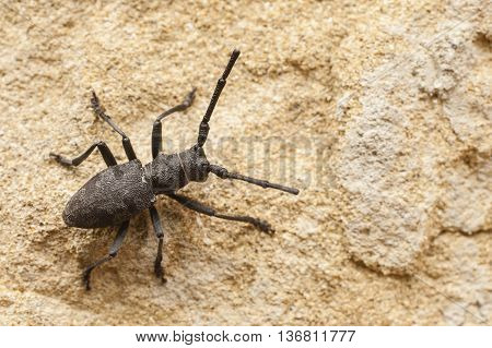 Black cerambyx insect on wall of italian building