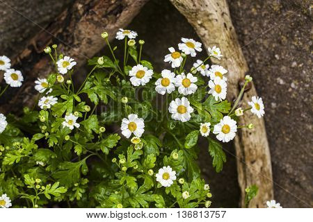 Feverfew herb (Tanacetum parthenium) growing amongst driftwood in garden in rain - ideas for planting.