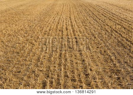 mown field of wheat after harvest top view