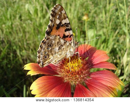 Vanessa cardui (painted lady) butterfly on a gaillardia flower.