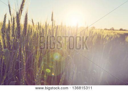 Wheat field, close up shot