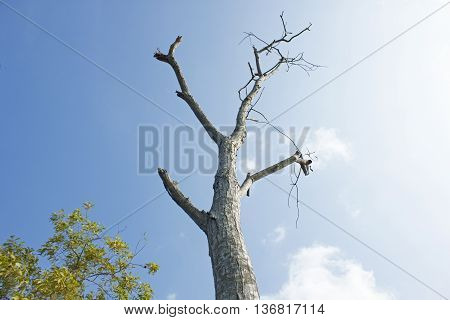 A dead tree in river site.June, Khulna,Bangladesh.